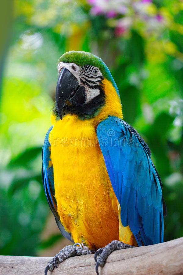 Blue and gold macaw. This shot of the Blue and Gold Macaw was taken at the Parrot Paradise exhibit at the Jurong Bird Park in Singapore, which is among the stock photography