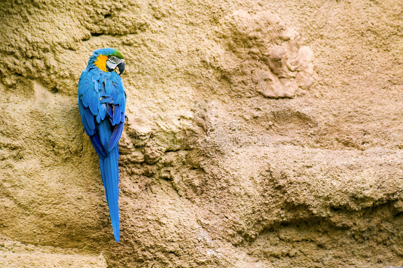 Blue and Gold Macaw. Perched on a limestone wall royalty free stock images