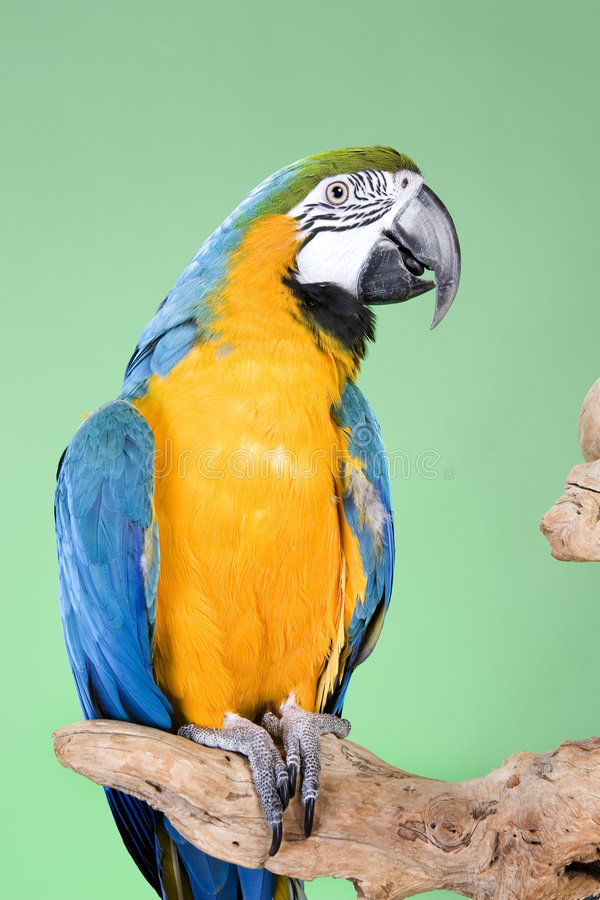 Blue and Gold Macaw. Portraits over a green background royalty free stock image