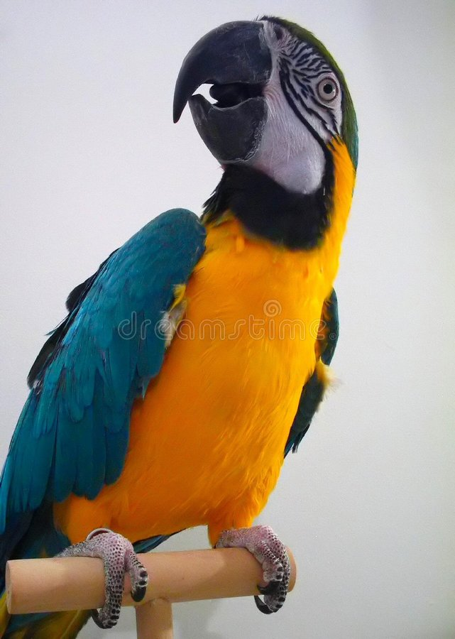 Download Blue & Gold Macaw stock photo. Image of squawk, macaw, parrot - 49838