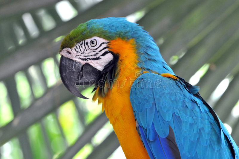 Blue and Gold Macaw. Blue-and-gold macaw parrot in its environment royalty free stock photography
