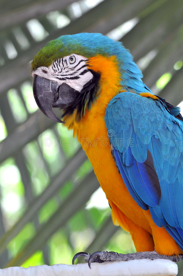 Blue and Gold Macaw. In close-up view stock photo