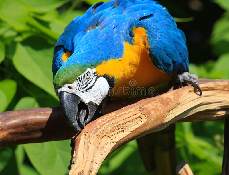 Blue and Gold Macaw. Close up of a blue and gold macaw nibbling on a branch stock photo