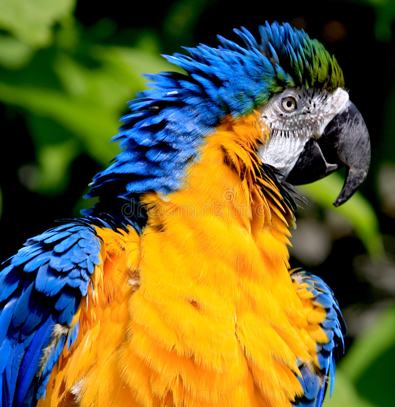 Blue and Gold Macaw. Portrait of the upper body of a Blue and Gold Macaw royalty free stock images