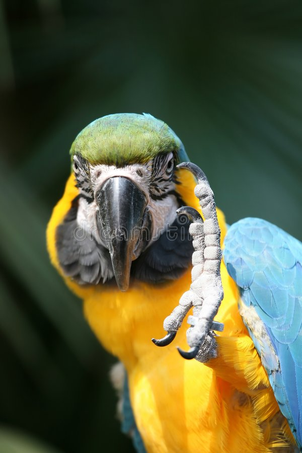 Blue and Gold macaw. With leg raised stock photography