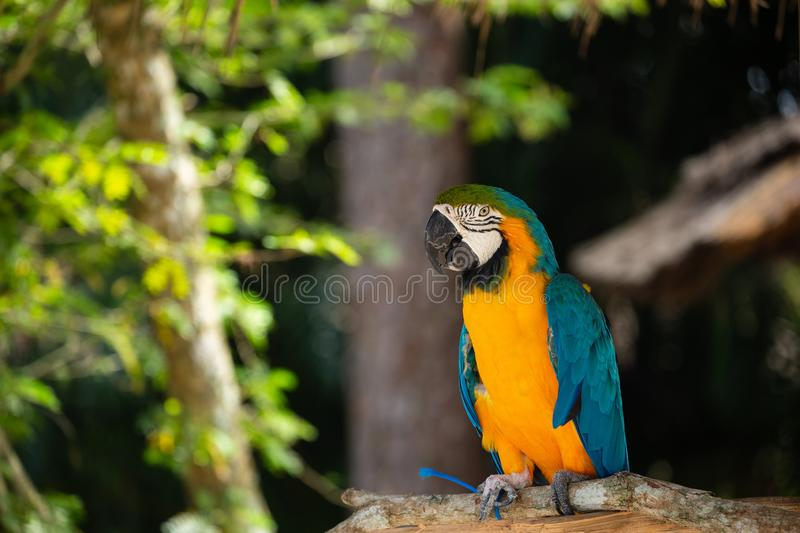 Blue and Gold Macaw. Against jungle background. Beautiful Bird in the Safari Park. Florida, USA stock photos