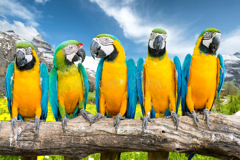 Blue-and-Gold Macaw against landscape of yellow flower fields an royalty free stock photos