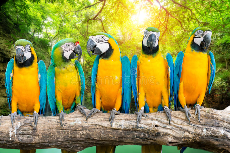 Blue-and-Gold Macaw against tropical waterfall background stock image