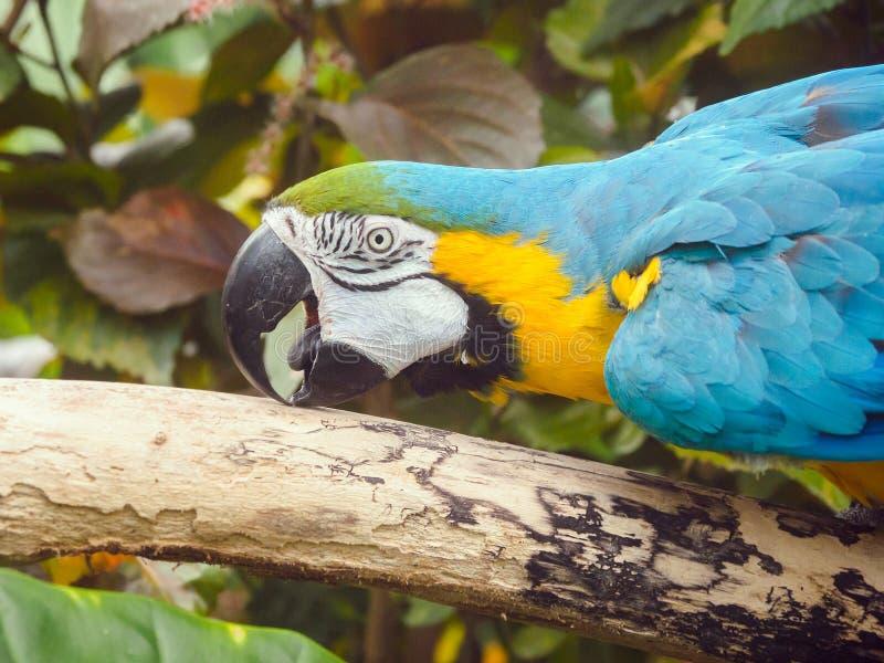 Blue-and-Gold Macaw Ara ararauna. Perched among lush tropical greenery royalty free stock photo