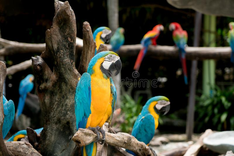 Blue and gold macaw bird sitting on a tree branch in forest. royalty free stock images