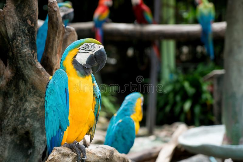 Blue and gold macaw bird sitting on a tree branch in forest. Blue and gold macaw bird sitting on a tree branch in forest stock images