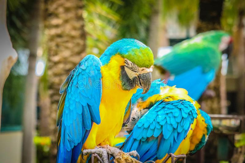 Blue and gold macaw. On the branch stock images