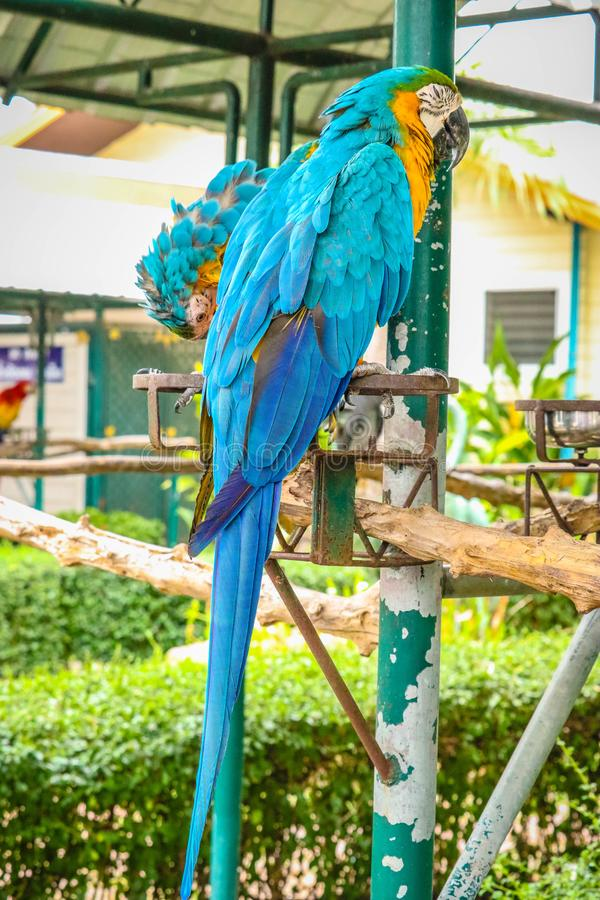 Blue and gold macaw. On the branch stock image