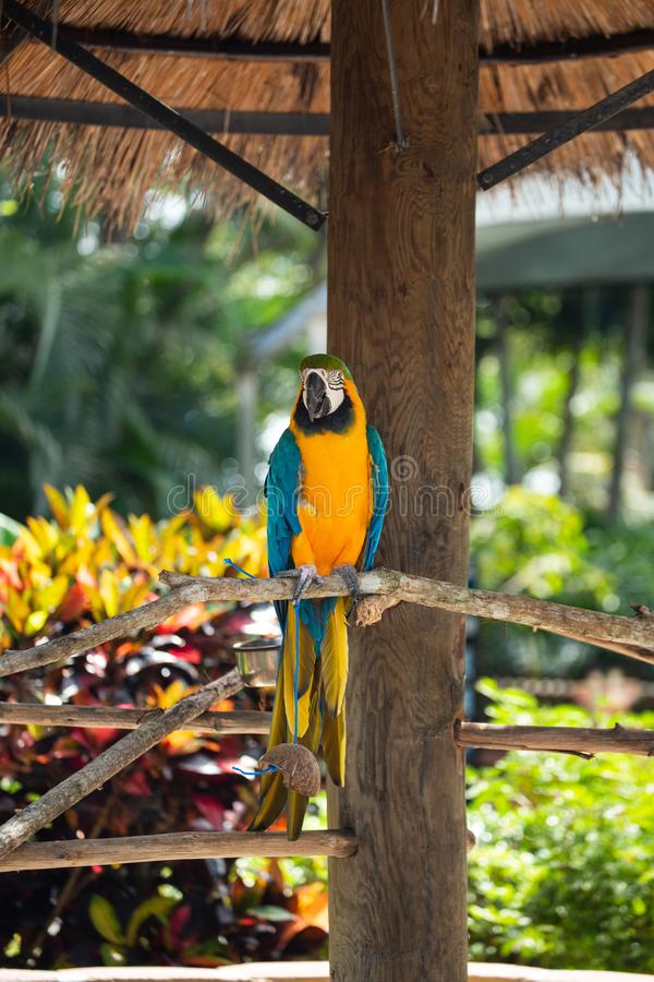 Blue and Gold Macaw. Sitting on a brunch on a Jungle background. Beautiful Bird in the Safari Park. Florida, USA stock photos