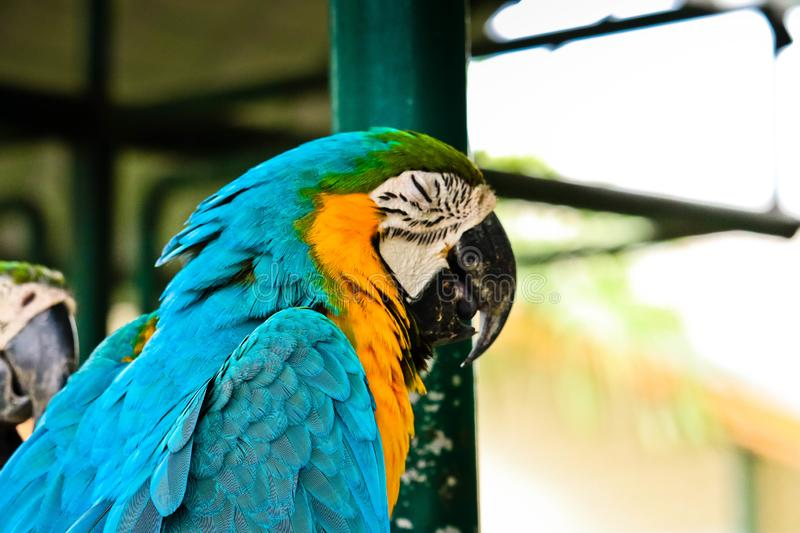 Blue and gold macaw. On the branch stock photography