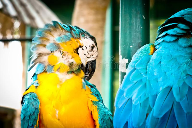 Blue and gold macaw. On the branch royalty free stock photo
