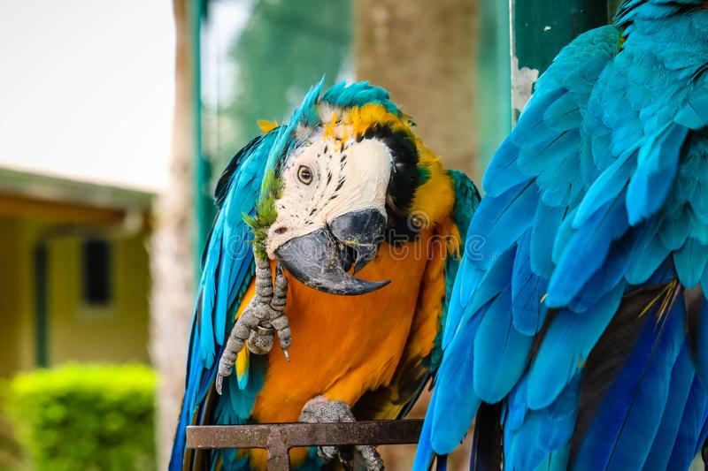 Blue and gold macaw. On the branch royalty free stock images