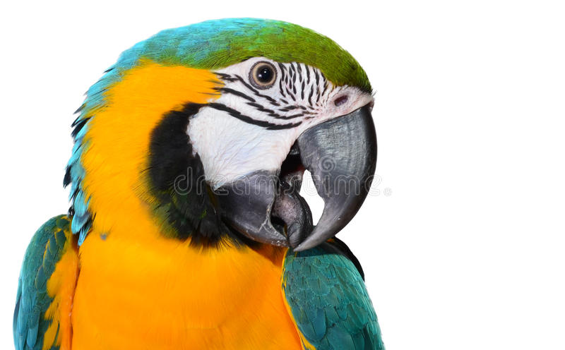 Blue and Gold Macaw. Close up of a Macaw face royalty free stock photo