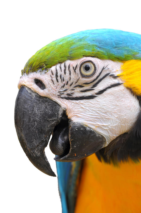 Blue-and-Gold Macaw. Close up Blue-and-Gold Macaw face isolate on white background stock images
