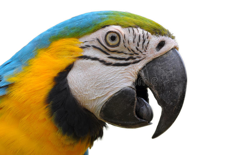 Blue-and-Gold Macaw. Close up Blue-and-Gold Macaw face isolate on white background royalty free stock images