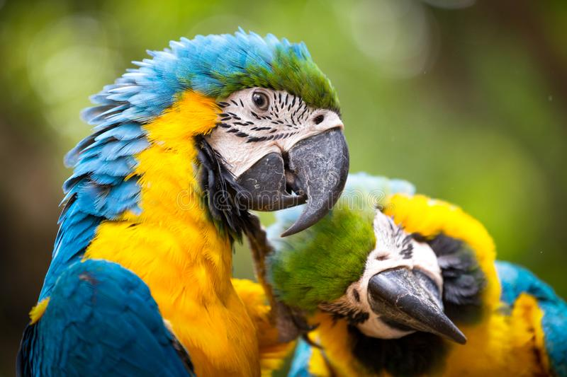 Blue & Gold Macaw concept love. The Blue & Gold Macaw concept love stock photography