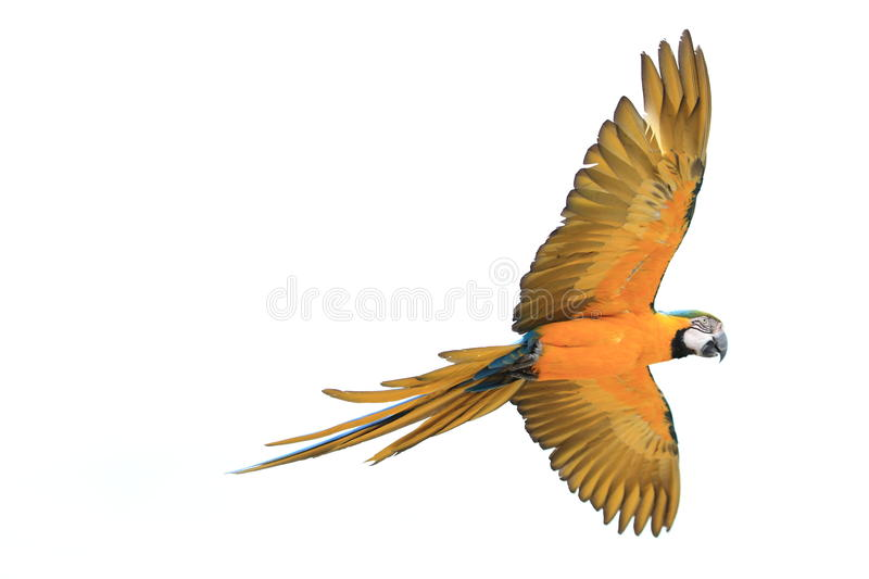 Blue-and-gold macaw. The flying blue-and-gold macaw royalty free stock photography