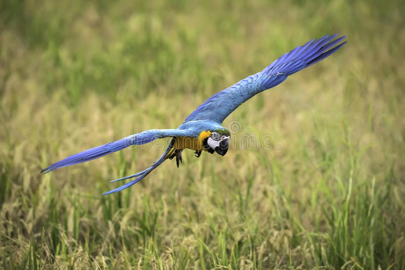 Blue and gold macaw flying in rice field stock image