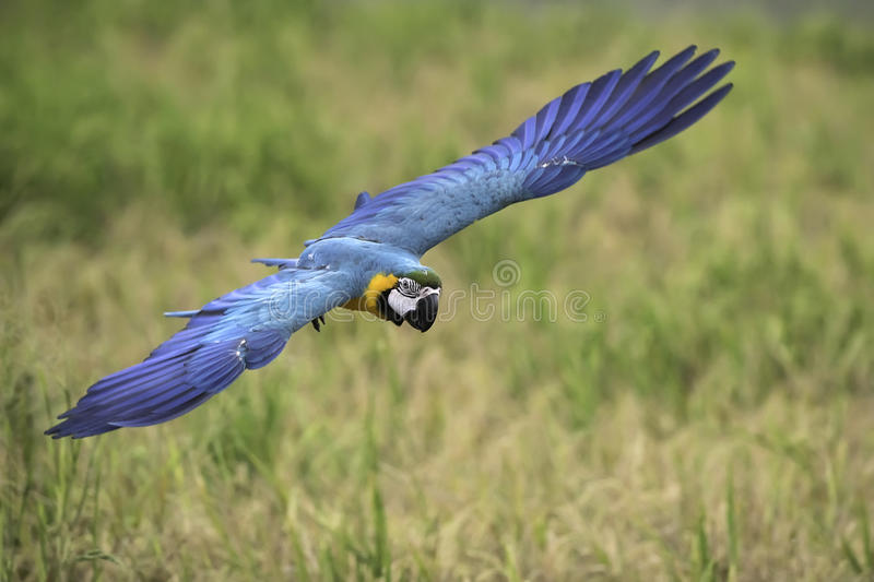 Blue and gold macaw flying in rice field royalty free stock photo
