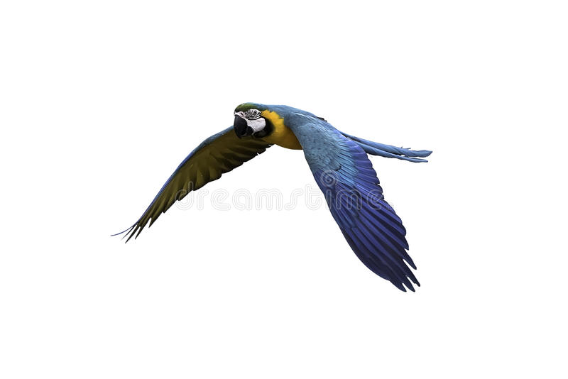Blue and gold macaw flying on white background, clipping path. Blue and gold macaw flying on isolated background, clipping path royalty free stock image