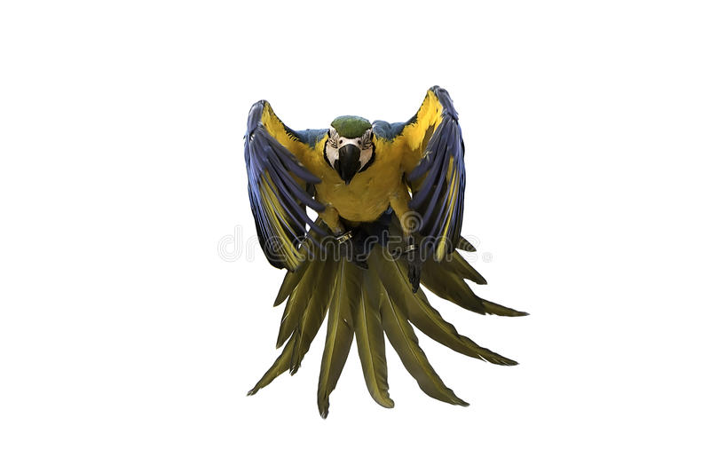 Blue and gold macaw flying on white background, clipping path. Blue and gold macaw flying on isolated background, clipping path stock image