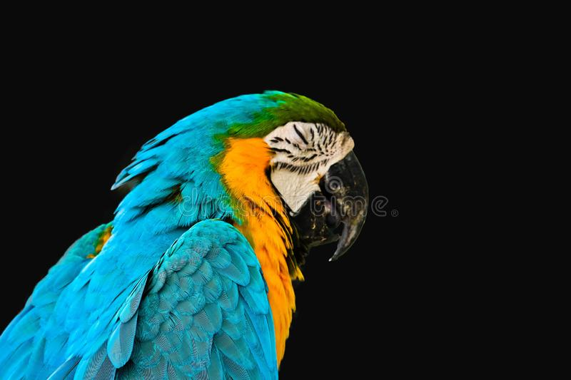 Blue and gold macaw isolated royalty free stock image