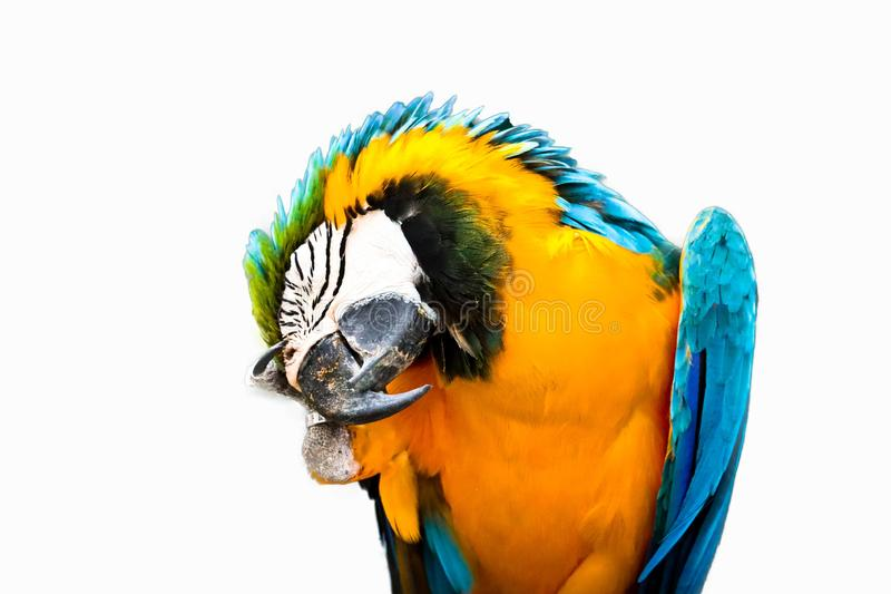 Blue and gold macaw isolated stock images