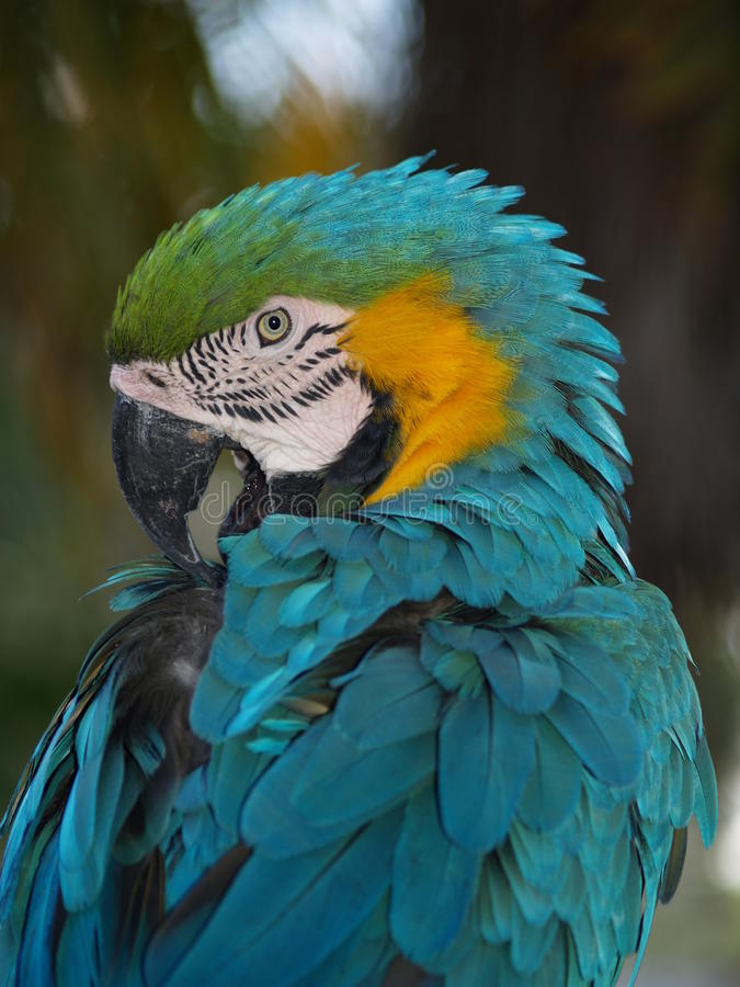 Blue and Gold Macaw. At Lion Country Safari in West Palm Beach, Florida royalty free stock photography