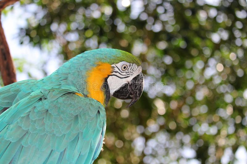 Blue and Gold Macaw. A Blue and Gold Macaw, native to both Central and South America royalty free stock photos