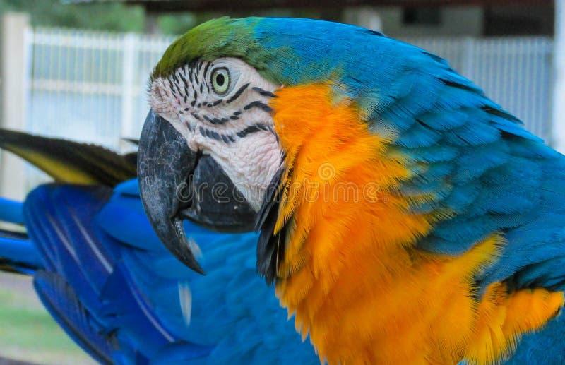 Blue-gold macaw parrot big beak. Blue gold macaw parrot in tropic park. Tropical colorful bird big beak royalty free stock photos