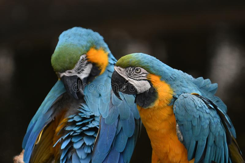 Blue and Gold Macaw Parrot. A captive Blue and Gold Macaw on display in Arizona Wildlife Zoo royalty free stock photography