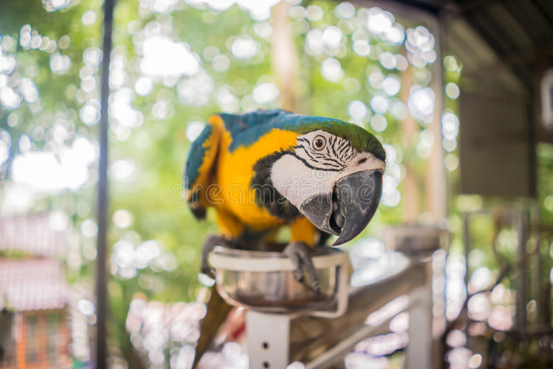 Blue gold macaw. Parrot cute stock photos