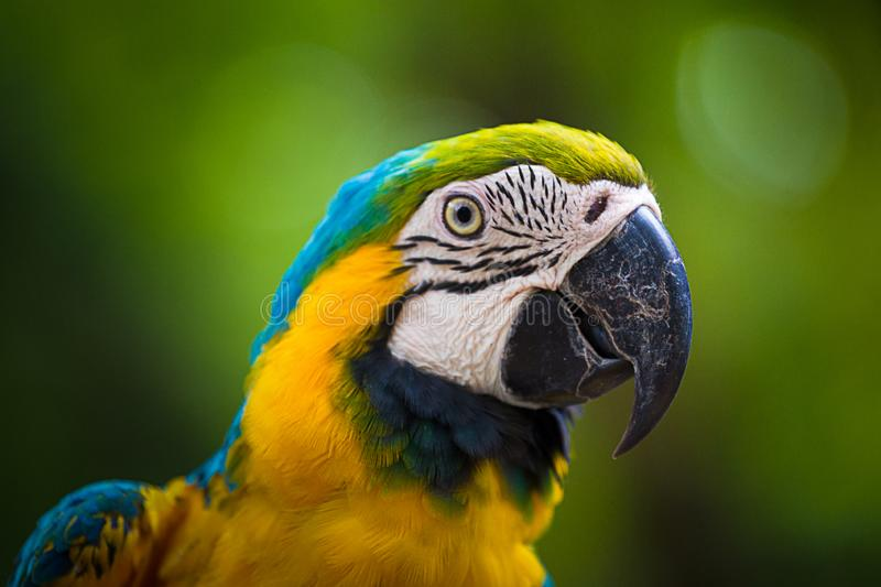 Blue & Gold Macaw parrot face. The Blue & Gold Macaw parrot face stock photography