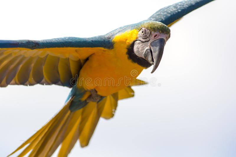 Blue and gold macaw parrot in flight. Beautiful close-up of tropical bird facing camera. Blue and gold macaw parrot Ara ararauna in flight. Beautiful close-up royalty free stock image
