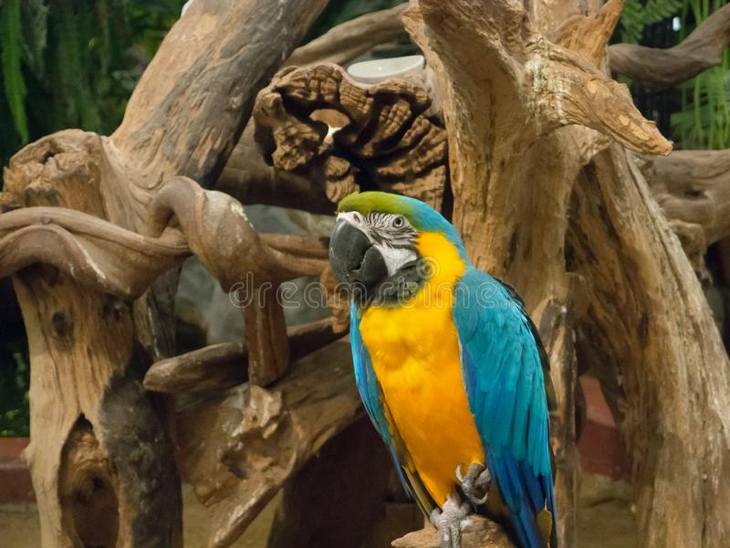 The blue and gold macaw parrot, is a large South American parrot with blue top parts and yellow under parts perching on a tree. royalty free stock photography