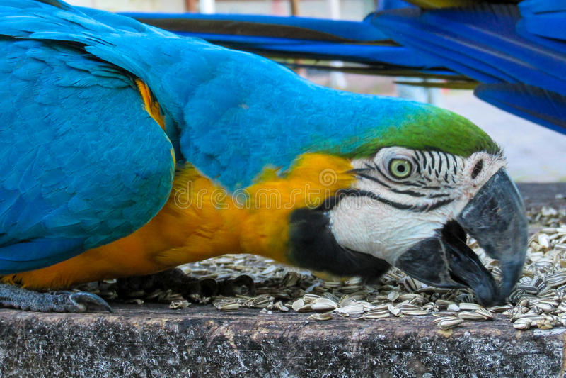 Blue-gold macaw parrot. Blue gold macaw parrot in tropic park. Tropical colorful bird stock photos