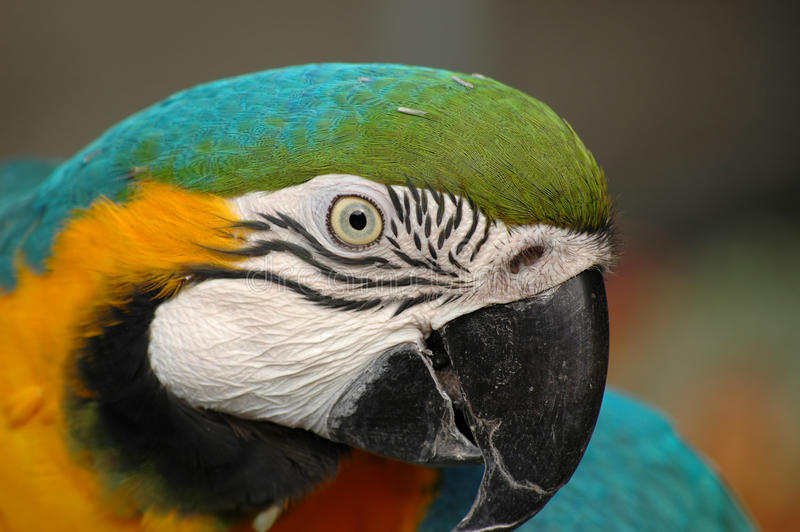 Blue-and-gold macaw s head in detail