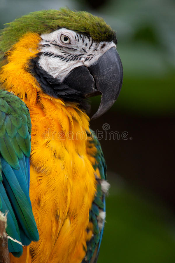 Blue and Gold Macaw. Side Profile of a Blue and Gold Macaw stock photo