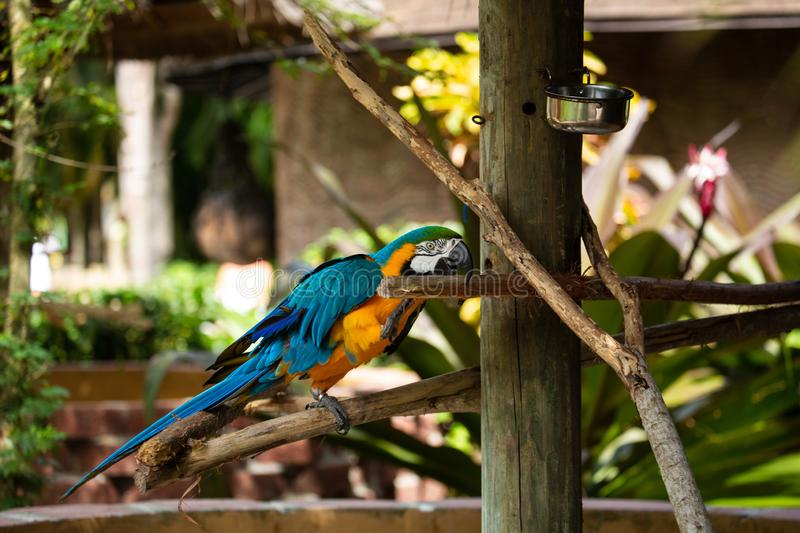 Blue and Gold Macaw. Sitting on a brunch on a Jungle background. Beautiful Bird in the Safari Park. Florida, USA royalty free stock photos