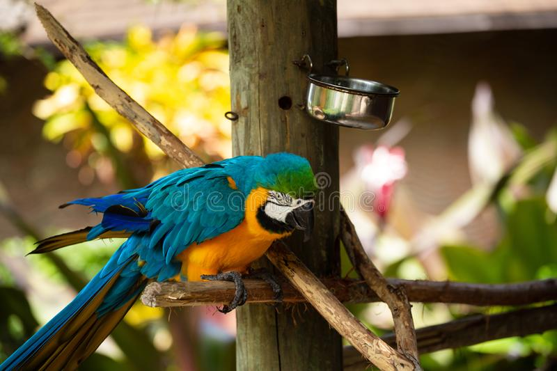 Blue and Gold Macaw. Sitting on a brunch on a Jungle background. Beautiful Bird in the Safari Park. Florida, USA royalty free stock photography