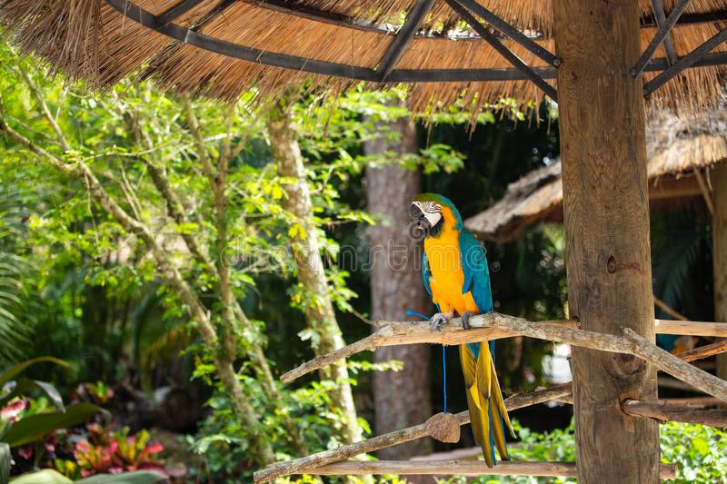 Blue and Gold Macaw. Sitting on a brunch on a Jungle background. Beautiful Bird in the Safari Park. Florida, USA stock image