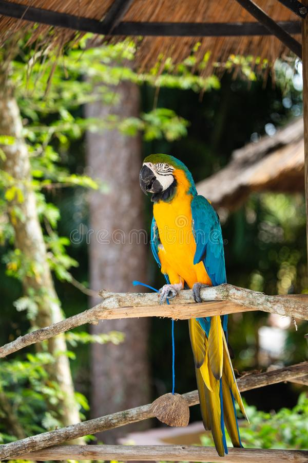 Blue and Gold Macaw. Sitting on a brunch on a Jungle background. Beautiful Bird in the Safari Park. Florida, USA royalty free stock image