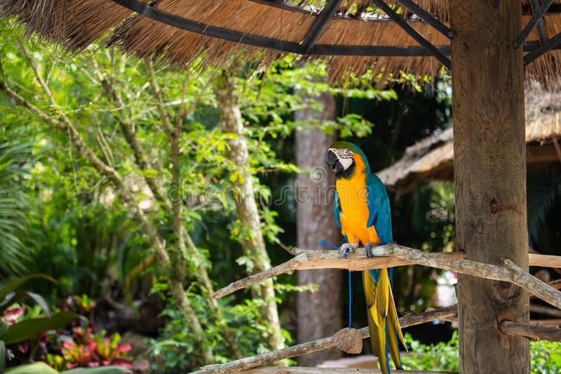 Blue and Gold Macaw. Sitting on a brunch on a Jungle background. Beautiful Bird in the Safari Park. Florida, USA stock images