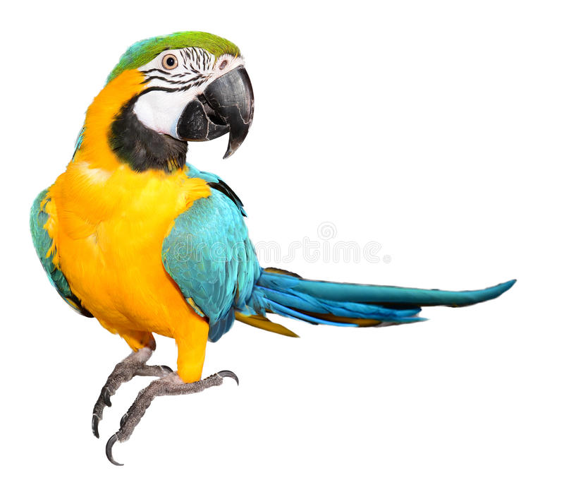 Blue and Gold Macaw on a white background. Close up of a Blue and Gold Macaw on white stock photos