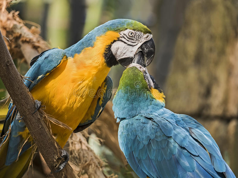 Blue and Gold Macaws stock photography